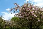 I Sat Under a Cherry Blossom Tree